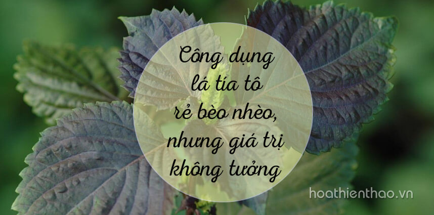 Công dụng lá tía tô rẻ bèo nhèo - Hoa Thien Thao Cosmetics