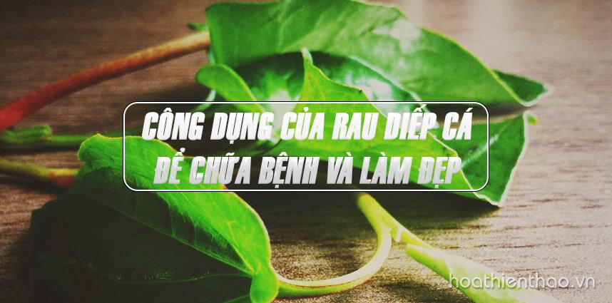 Công dụng của rau diếp cá để chữa bệnh và làm đẹp - Hoa Thien Thao Cosmetics
