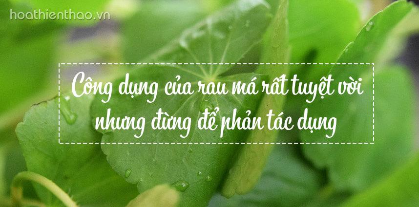 Công dụng của rau má rất tuyệt vời nhưng đừng để phản tác dụng - Hoa Thien Thao Cosmetics
