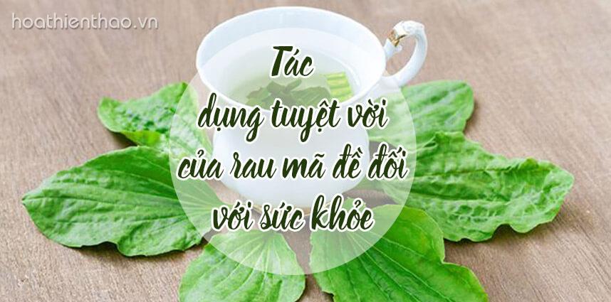 Tác dụng tuyệt vời của rau mã đề - Hoa Thien Thao Cosmetics